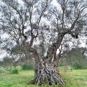 salento olive olil tree